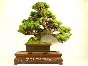 17 Jenis Seni Dan Gaya Bonsai ( Style Bonsai )