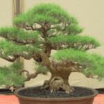Pohon Cemara Dijadikan Bonsai