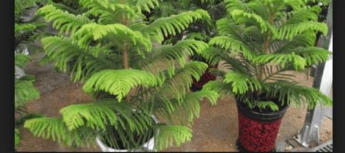 Jenis Pohon Cemara Dijadikan Bonsai Di Indonesia
