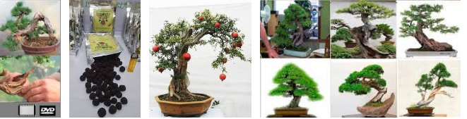 Pupuk Bonsai Juara Dengan Magic Ball Fertilizer