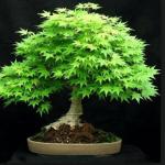 Mengenal Tanaman Acer Palmatum (Maple) Untuk Dijadikan Bonsai