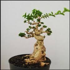 Harga Bonsai Kimeng (Ficus microcarpa) & Cara Membuatnya