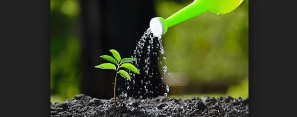 Cara Perawatan Bunga Adenium Agar Berbunga Lebat Paling Simpel