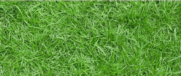 Cara Membuat Rumput Jepang Tumbuh Subur Paling Mudah