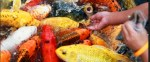 Ikan Koi: Cara Memelihara Dan Merawat Dengan Benar Super Mudah