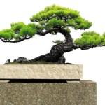 Bonsai: Mengerti & Mengetahui Istilah Bonsai Serta Dari Seluk Beluk Bonsai