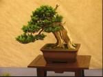 Bonsai Musiman: Menjaga Karakter Bonsai & Menumbuhkan Keindahan Yang Maksimal