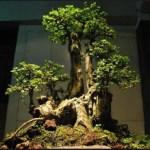 Bonsai Serut: Hal Menarik Tentang Pohon Bonsai Serut Harus Kita Ketahui