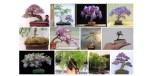 Bonsai Jacaranda (J. mimosifolia): Cara Merawat Pohon Bonsai Jacaranda Paling Simpel