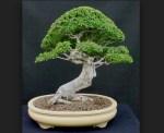 Bonsai Ulmus (Ulmus Parviflora): Susunan Cara Merawat Bonsai Ulmus Paling Mudah