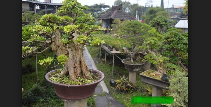 Hobi Bonsai: Menjadi Kaya Raya & Sukses Dari Bonsai Harga Fantastis
