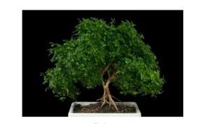 Panduan Perawatan Pohon Bonsai Indoor Paling Simpel