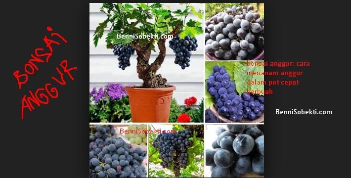 Bonsai Anggur: Cara Menanam Anggur Dalam Pot Cepat Berbuah