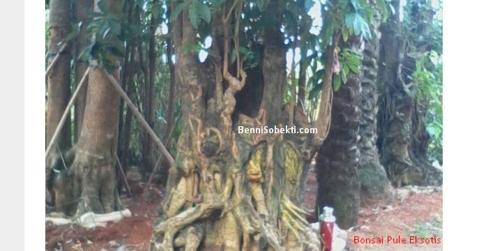 Bonsai Pule: Bentuk Kayu Pule Untuk Bakalan Bonsai Eksotis