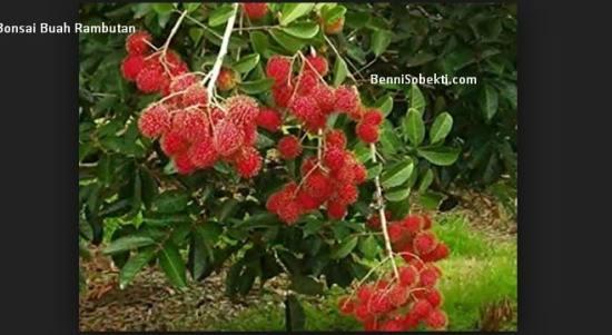 Bonsai Rambutan: Cara Buat Bonsai Rambutan Cepat Berbuah