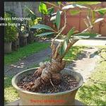 Bonsai Tabebuya: Mengenal Pohon Tabebuya Berbagai Warna
