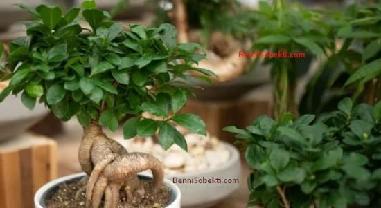 Cara Membuat & Merawat Untuk Penyuka Bonsai