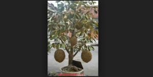 Bonsai Durian: Cara Jitu Menanam Tanaman Durian Cepat Berbuah Dalam Pot