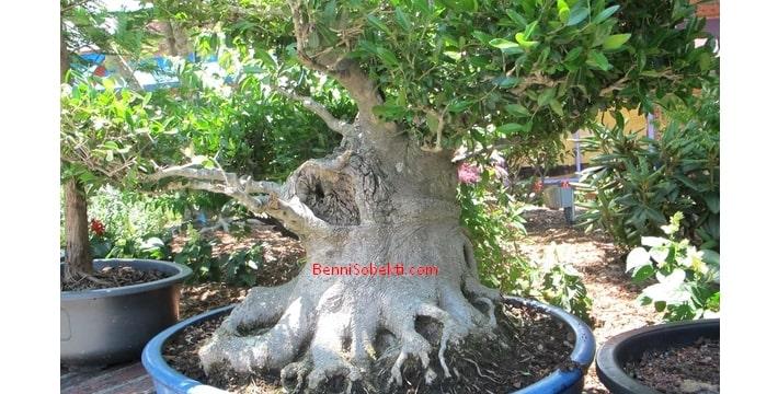 Cara Jitu Memebuat Batang Pohon Bonsai Lebih Tebal