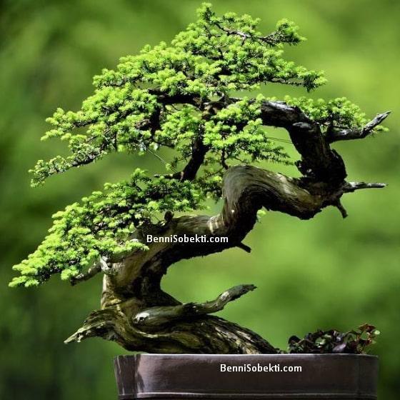 Mengenal Tanaman Carmona Microphylla / Ehretia Microphylla Untuk Bonsai
