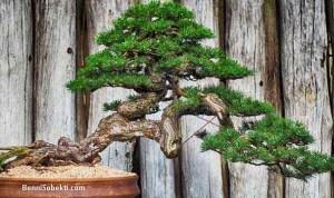 Cara Memangkas Pohon Bonsai Yang Benar