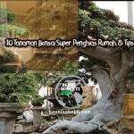 10 Tanaman Bonsai Super Penghias Rumah, & Tips Perawatan