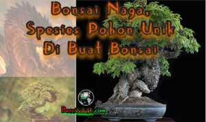 Bonsai Naga | Spesies Pohon Unik Di Buat Bonsai
