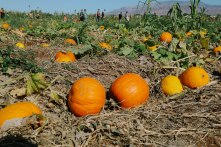 Pumpkin Patch at Gilcrease Orchard