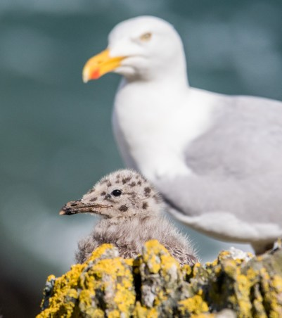 Herring Gull: old and new