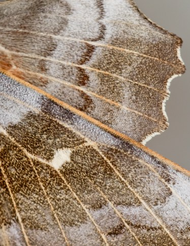 Poplar Hawkmoth close-up