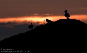 Oystercatchers and Herring Gull