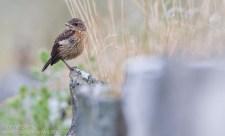 Stonechat chick
