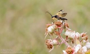 Longhorn Beetle (Rutpela maculata)