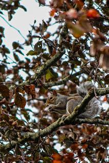 Grey Squirrel by Benjamin Akira Tallamy
