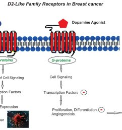 the expression of dopamine receptors gene and their potential role in targeting breast cancer cells with selective agonist and antagonist drugs  [ 2675 x 1489 Pixel ]