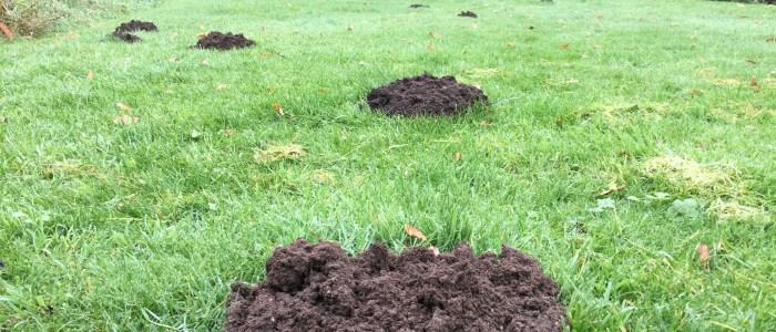 mole hills in garden area