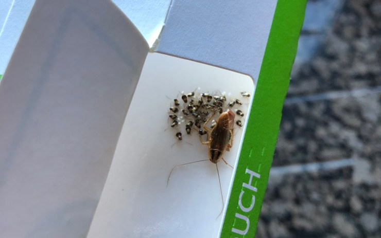 roaches on sticky trap