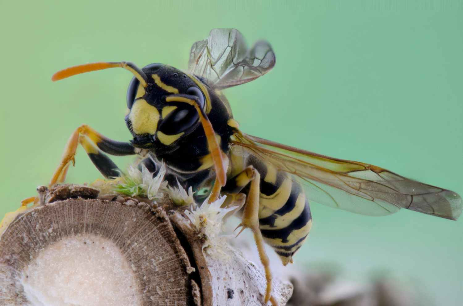 common wasp - wasp nest treatment removal - Bentley environmental - pest control