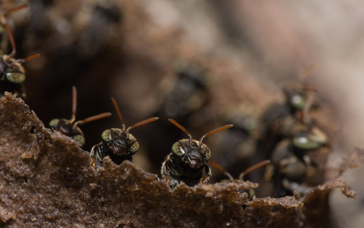 Black ants close up peeking