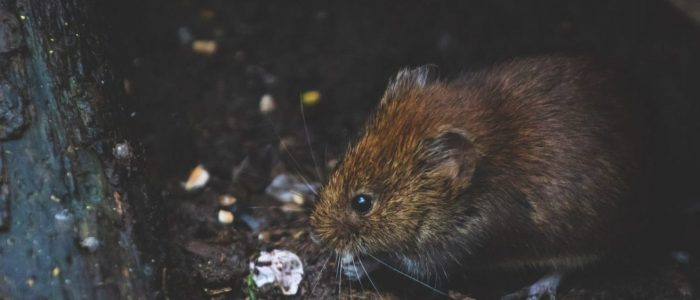 photo of a juvenile rat