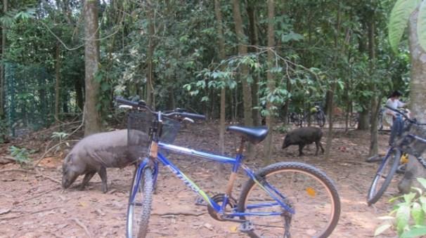 More boars on Ubin Island Singapore