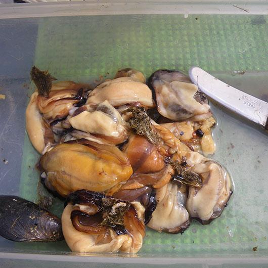 石鯛 カラス貝 剥き方