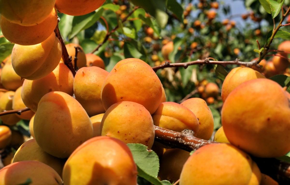 Abrikoser - Den mest Helbredende Frugt!