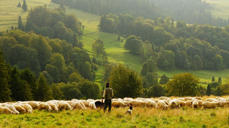 Shepherd guarding sheep