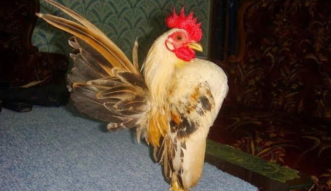 Kewalahan Penuhi Permintaan Anak Ayam Serama Berempat