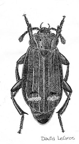 LeGros Necrodes surinamensis
