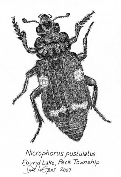LeGros Nicrophorus pustulatus