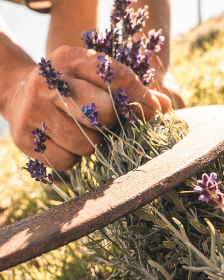 Lavendelernte mit Sichel