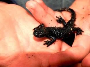 Tierwelt zum Greifen nah - Salamander