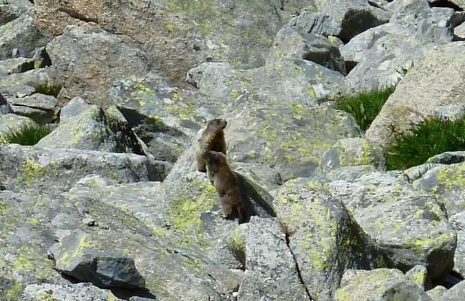 Auch sie geniessen die Sonne: Murmeltiere an der Albigna